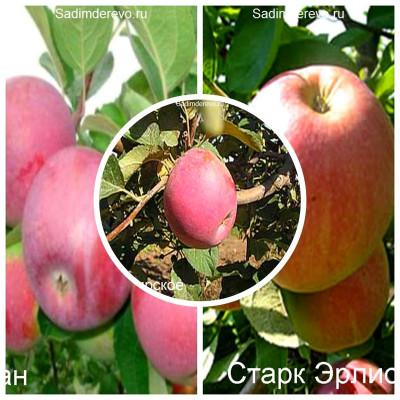 Яблоня - комплект из 3-х сортов: Яблоня Салгирское > Яблоня Спартан > Яблоня Старк Эрлист