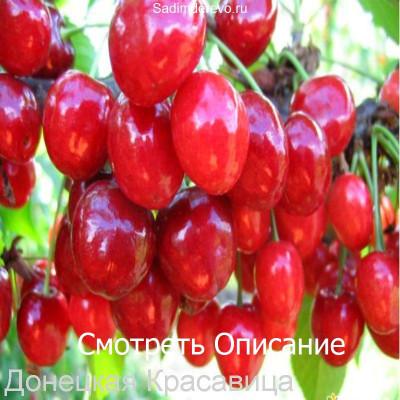 Черешня Донецкая Красавица