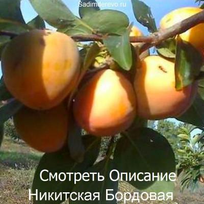 Хурма Никитская Бордовая
